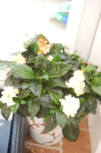 A gardenia plant