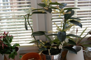 Stephanotis in bloom