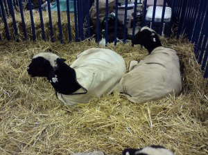 Chilled sheep