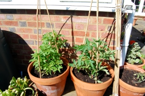 My tomatoes in their sunny spot properly caged in bamboo