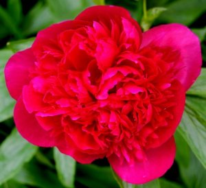 The neighbor's peony bush