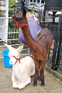 The bedraggled looking Alpaca.
