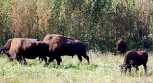 Endangered Wood Bison.