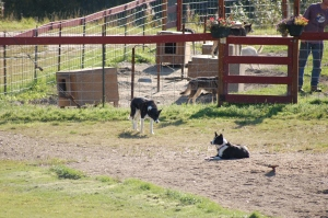 The Alaskan sled dog has really no conformation to adhere to, thus they can be any color or shape, the main requirements is that they are tough and can run.