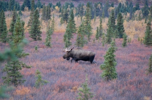 A Large Male Moose getting ready for mating season.
