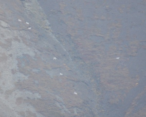 A group of Dall Sheep very far away on a hill side