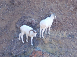 A couple of Mountain Sheep Rams