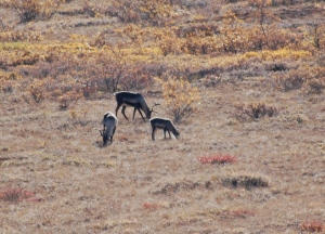A group of Caribou