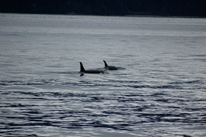 We were lucky enough to get to see a pod of orcas (killer whales) in the bay.