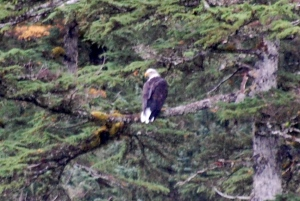We saw lots and lots of Bald Eagles