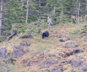 A black bear grazing the hillside