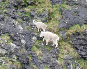 Mountain Goats, a nanny with a kid on the side of a pretty shear cliff.