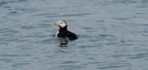 Probably the last Puffin in Alaska!
