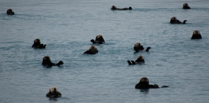"A ""raft"" of sea otters doing what they do best, floating on their backs!"