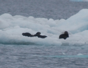 Otters or Sea Lions on an iceberg.